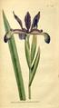 The Botanical Magazine, Plate 58 (Volume 2, 1788).png