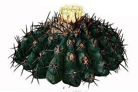 The Cactaceae Vol III, plate X Copiapoa cropped.jpg