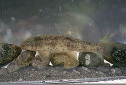 The Santa Ana sucker is a threatened fish species.jpg