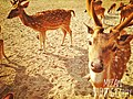 The deer in the sundorban.jpg