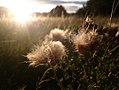 "Thistle says ""ready to disperse"" (36264888542).jpg"