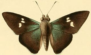 <i>Thracides cilissa</i> species of insect