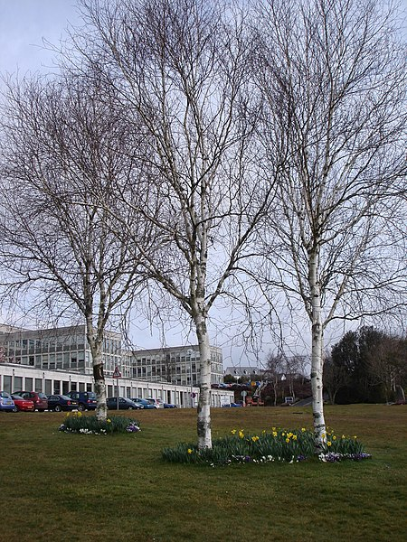 File:Three birch trees, Cornwall College, St Austell - geograph.org.uk - 1756653.jpg
