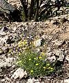 Thymophylla pentachaeta var belenidium 8.jpg