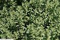 Thymus x citriodorus Argenteus 1zz.jpg