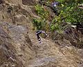 Tichodroma muraria Pyrenees 7.jpg