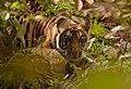 Tiger cub peeking.jpg