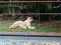 Tigers in Zoo Negara Malaysia (15).jpg