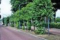 Tilia × europaea, Garderen, Mazenhofstraat (01).jpg
