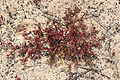 Tinajo La Santa - Diseminado la Sta Sport - El Rio - Mesembryanthemum nodiflorum 01 ies.jpg