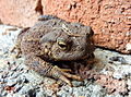 Toad (just out of) the hole (4931589529).jpg