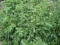 Tomato plant (1).jpg