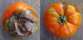 Tomato with Phytophthora infestans (late blight) 2.jpg