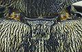 Tomoxia bucephala scutellum.jpg