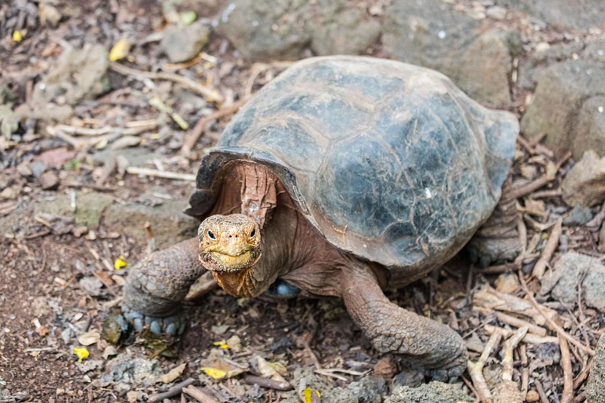 Tortugas Galápagos,Tortugas Gigante Galápagos, Tortuga gigante de San Cristóbal, Chelonoidis chathamensis, caparazón