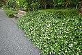 Trachelospermum jasminoides kz5.jpg