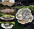 Trametes gibbosa, (Lumpy Bracket, D= Buckeltramete , F= Tramète bossue, NL= Witte bultzwam) white spores and causes white rot, with the clearly visible hump in the center at a Beech trunk at Schaarsbergen - panoramio.jpg