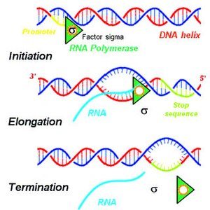 Primary transcript - Transcription of DNA by RNA polymerase to produce primary transcript