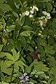 Trautvetteria caroliniensis 3158.JPG