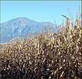 Tree Farm, Corn and Mountain 12-8-12 (8298287828).jpg