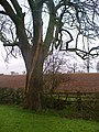 Tree hit by lightning - geograph.org.uk - 291295.jpg