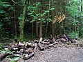 Trees and logs, Ards Forest Park - geograph.org.uk - 901239.jpg
