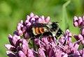 Tri-colored Bumble Bee (Bombus ternarius) (35923084860).jpg