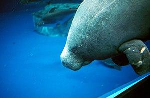 Toba Aquarium - Image: Trichechus senegalensis