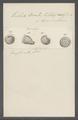 Trichoda bomba - - Print - Iconographia Zoologica - Special Collections University of Amsterdam - UBAINV0274 113 15 0022.tif