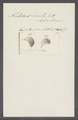 Trichoda seminula - - Print - Iconographia Zoologica - Special Collections University of Amsterdam - UBAINV0274 113 15 0027.tif