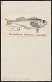 Trichodon stelleri - 1700-1880 - Print - Iconographia Zoologica - Special Collections University of Amsterdam - UBA01 IZ13200079.tif