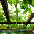 Trichosanthes cucumerina snake gourd hanging from the plant.jpg