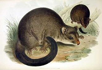 Brushtail possum - Image: Trichosurus caninus Gould