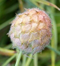 TrifoliumFragiferum2.jpg