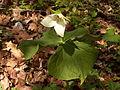 Trillium erectum, 2015-04-29, Bird Park, Mount Lebanon, Pennsylvania, 01.jpg