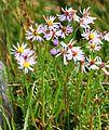 Tripolium pannonicum ssp maritimum NO strandstjerne IMG 4147 ersvika.JPG