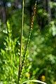 Tripsacum dactyloides Arkansas.jpg