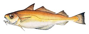 Poor cod - Image: Trisopterus minutus Gervais