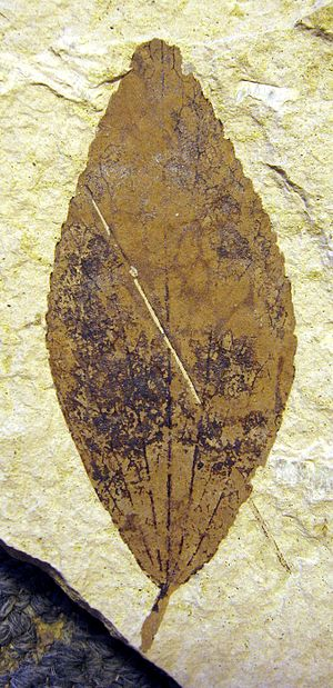 1890 in paleontology - Trochodendron nastae