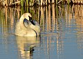 Trumpeter swan on Seedskadee National Wildlife Refuge (35000813462).jpg