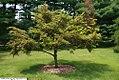 Tsuga diversifolia 4zz.jpg