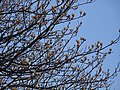 Tulip tree (Liriodendron tulipifera) buds in spring 04.jpg