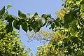 Tuohituomi - Prunus maackii C IMG 3371.JPG