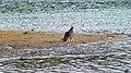 Turkey Vulture by CarTick.jpg