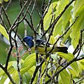 Turquoise Tanager (5614386335).jpg