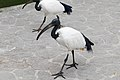Two African Sacred Ibis (25771898646).jpg
