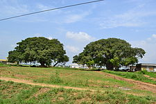 Two Old Trees in Rawalpondi District.JPG