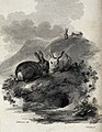 Two rabbits sitting next to the entrance of their burrow whi Wellcome V0020741.jpg