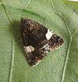 Tyta luctuosa. Four-spotted. Noctuidae - Flickr - gailhampshire (1).jpg
