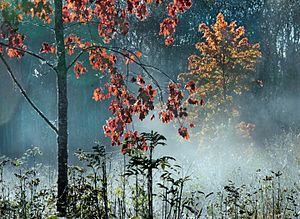 Morning - Maple tree with red leaves in the morning mist. Western Estonia